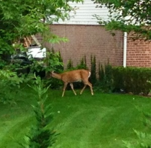 My view out the kitchen window this morning. Guess it was breakfast time in the neighbors' yard, too.