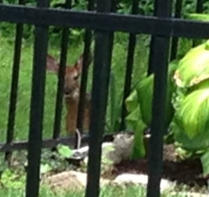 "This is no lawn ornament. Meet ""Priscilla,"" the fawn who is very, very interested in the Vanech family's every move."