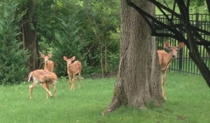 Mamma Doe and her Three Little Fawns pay me a visit.