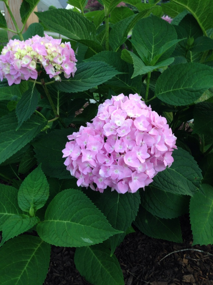 Hydrangea in bloom next to our mailbox.